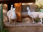 Teirark Arnstadt lamas