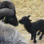 kleinsten-Schafrasse-der-Welt